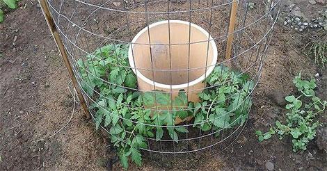 L'idée de génie d'un homme pour faire pousser des tomates