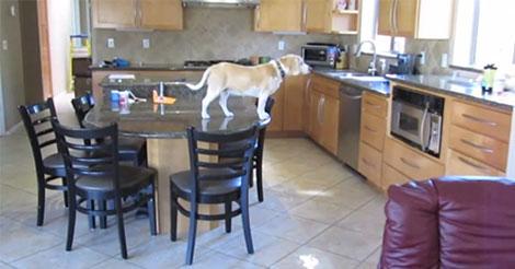 REGARDEZ : Un beagle vole des nuggets de poulet avec style