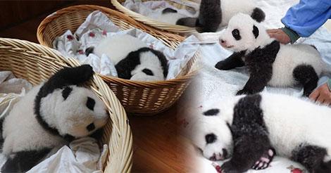 Des bébés pandas font leur toute première apparition en public offrant un magnifique spectacle