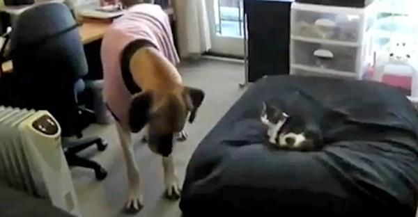 chats volent lits chiens