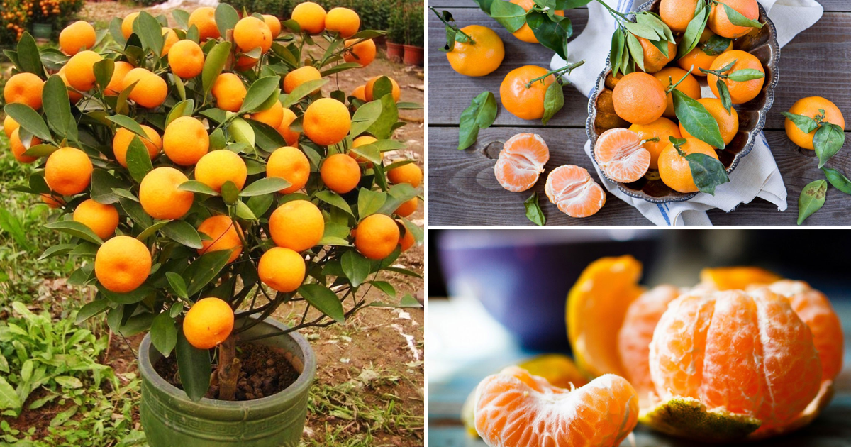 N'achetez plus de mandarines. Plantez-en et vous en obtiendrez une centaine!