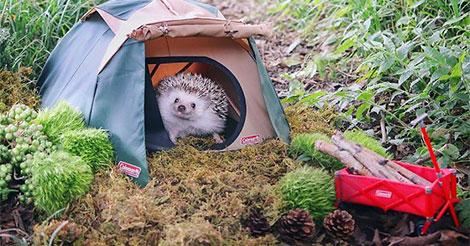 Un minuscule hérisson va au Camping, et ses photos sont la meilleure chose que vous verrez aujourd'hui
