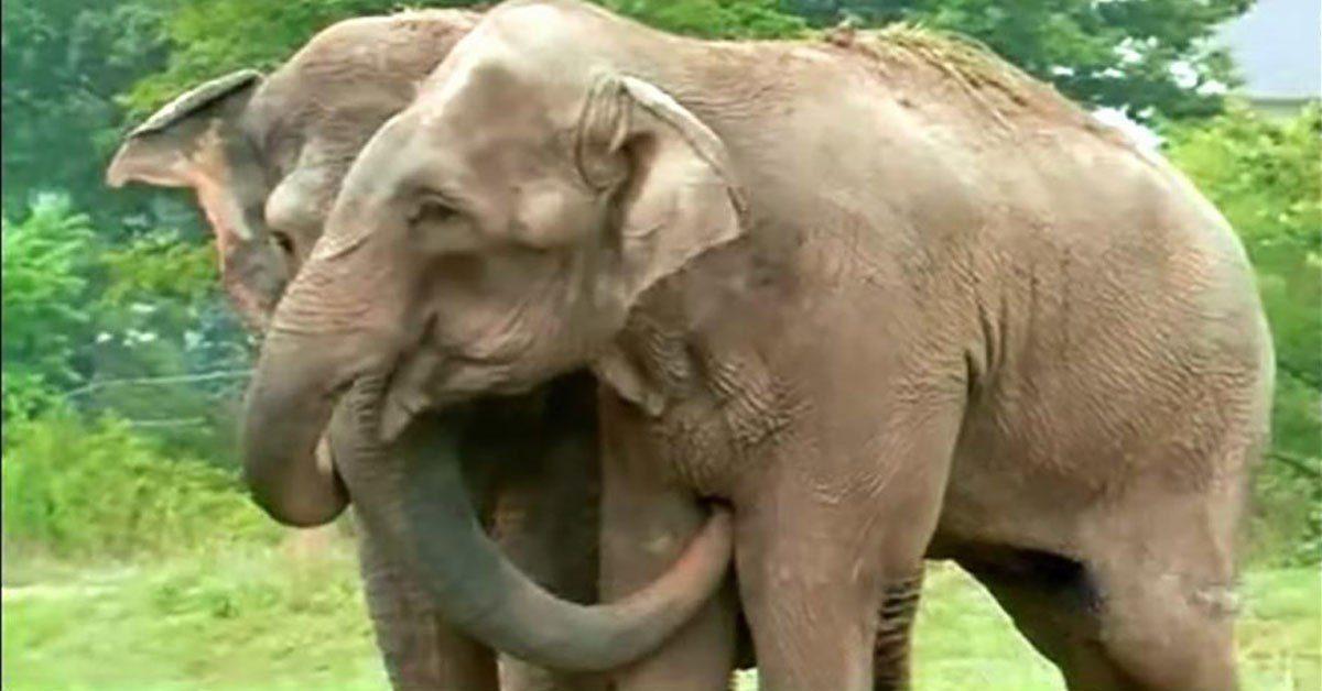 Après 22 ans séparés, deux éléphants se retrouvent. Mais personne n'était préparé à leur réaction