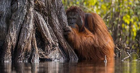Indonésie : les orangs-outans condamnés à extinction à cause de l'huile de palme