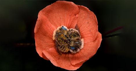 Cette espèce d'abeille dort dans les fleurs et c'est absolument adorable !