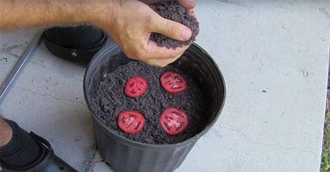[Astuce] Mettez 4 rondelles de tomate dans un pot de terre puis attendez 12 jours. Vous obtiendrez des pieds de tomates très facilement